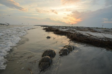 spawning horseshoe crabs