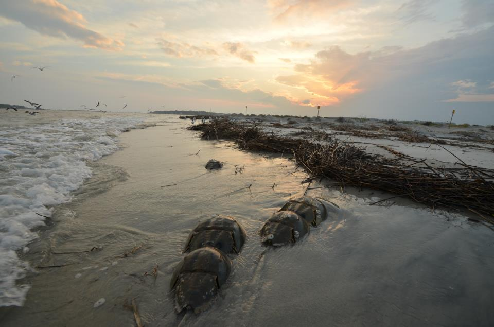 Spring brings the spawning of our local horseshoe crabs