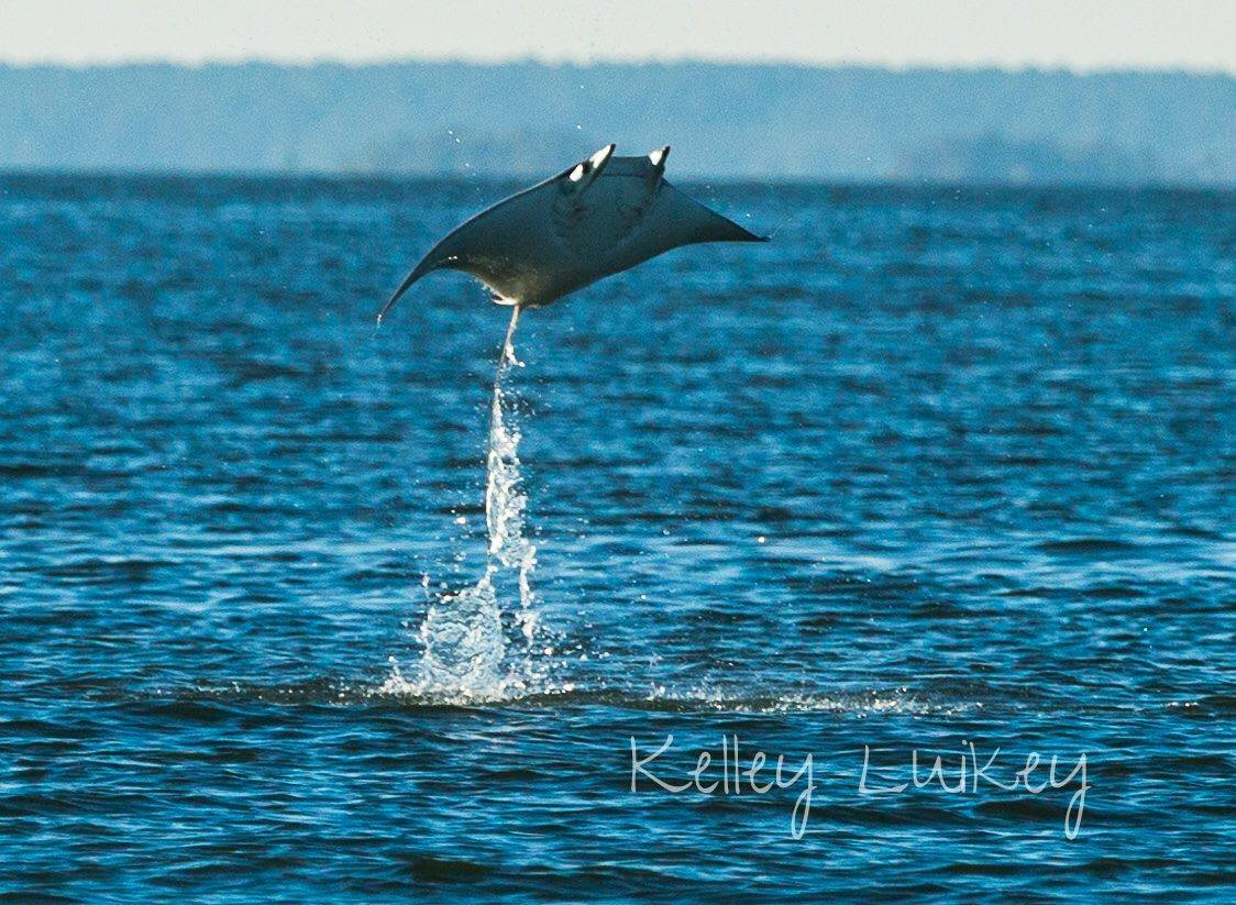Beaufort's Manta and Mobula Rays: Placid Devils of the Sea